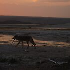 Coyote in the Park at Yellowstone by Suescot