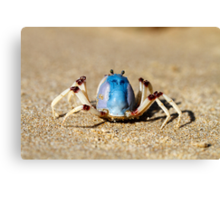Soldier crabs (Mictyris longicarpus?) With Angry Face! Canvas Print