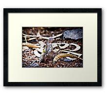 Zebra Tailed Lizard Framed Print