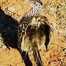 Roadrunner struttin and fluffin by jsmusic