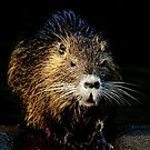 coy coypu by Alan Mattison IPA