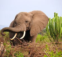 African Elephant - Uganda by Derek McMorrine