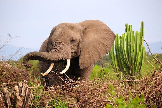 African Elephant - Uganda by Derek McMorrine