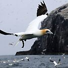 Flying Gannet - Bass Rock, Scotland by Derek McMorrine