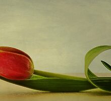Tulipa by Priska Wettstein