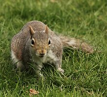 Grey Squirrel On Grass by Franco De Luca Calce
