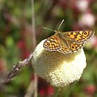 Butterfly perched on a billybutton, Vale of Belvoir by Jane Bouchard