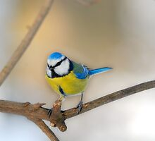 Inquisitive Blue Tit by Swell Photography