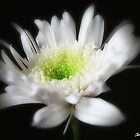 Glowing White Chrysanthemums 6 by Christopher Johnson