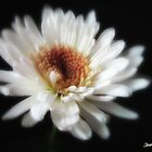 Glowing White Chrysanthemums 7 by Christopher Johnson