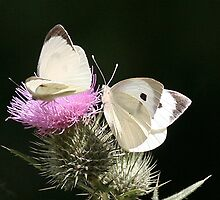 Large white on thistle by Gill Langridge
