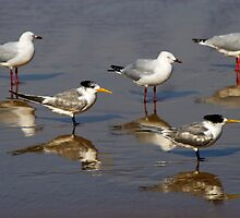 Crested terns and seagulls on Aslings Beach by Darren Stones