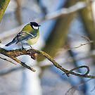Great tit 2 by David Freeman