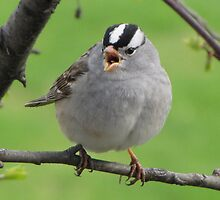 White-crowned Sparrow by Lee-Anne Carver