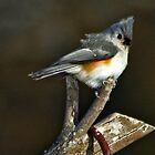Tufted Titmouse by denise romano