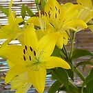Yellow Star Lilies by ellc