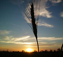 Wheat at Sunset by Laura Mitchell