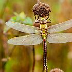 Dragonfly near St Peter, MN by Rick Stockwell
