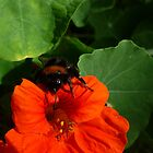 Bumble Bee  by Clare101