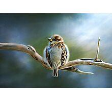 English-House Sparrow Photographic Print