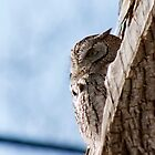 Eastern Screech Owl by chazz