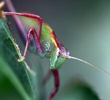 Grasshopper on Leaf by yolanda