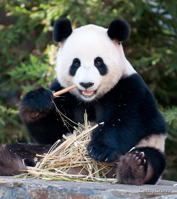 Giant Panda - Funi by Cathy Cormack