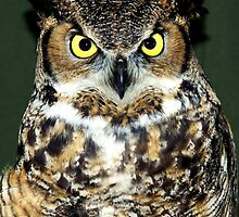Meet Lorax ~ She's a Great Horned Owl (Bubo virginianus) by Chuck Gardner