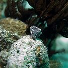 Macro heaven - Tiny little cuttlefish by spyderdesign