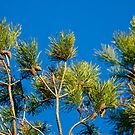 Scots Pine by Marloag