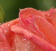 Folklore - my garden, Ottawa, ON by Tracey  Dryka