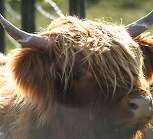 highland coo, Scotland by leannepapas