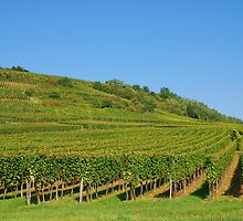 Alsace vineyards by roumen