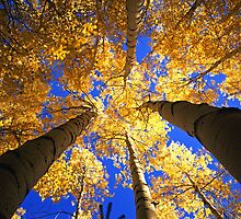 Yellow Forest Canopy by Mike Norton
