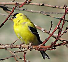 Wild Canary by Barb Miller