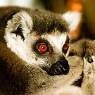 Portrait of a Ring Tailed Lemur by Dave  Knowles
