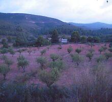 Dusk over an Olive grove. Siete Agua. Spain. by Patricia Rogers