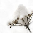 Winter umbel. Seeds replaced by snow. by Valentina Walker