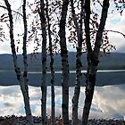 Birch Trees- Wyoming by alexisjmichel