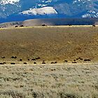 Herd of Buffalo_ Grand Tetons N.P. by alexisjmichel