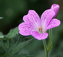 Single Geranium Flower by shane22
