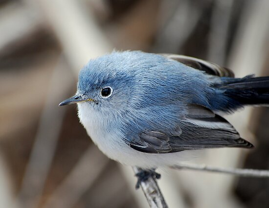 Blue-Gray Gnatcatcher by Angela Pritchard