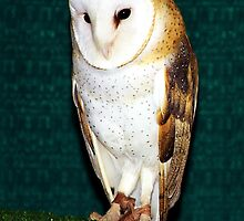 Meet Soren a Common Barn Owl (Tyto alba ) by Chuck Gardner
