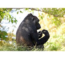 Gorilla Looking On Photographic Print