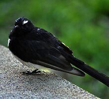 Willy Wagtail with an attitude by Brandie1