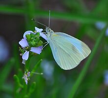 White Butterfly by Jackie  Smith
