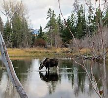 Moose-Grand Tetons by alexisjmichel