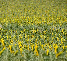 Sunflowers landscape, Castilla la Mancha, Spain by OlurProd