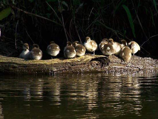 Ducklings on the Yarra by WendyJC