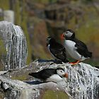 Puffins by christopher363